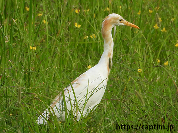 bubulcus ibis 201809 inami town