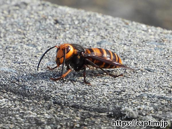 スズメバチ 2018年 12月 兵庫県 神戸市 神出町 昆虫 撮影