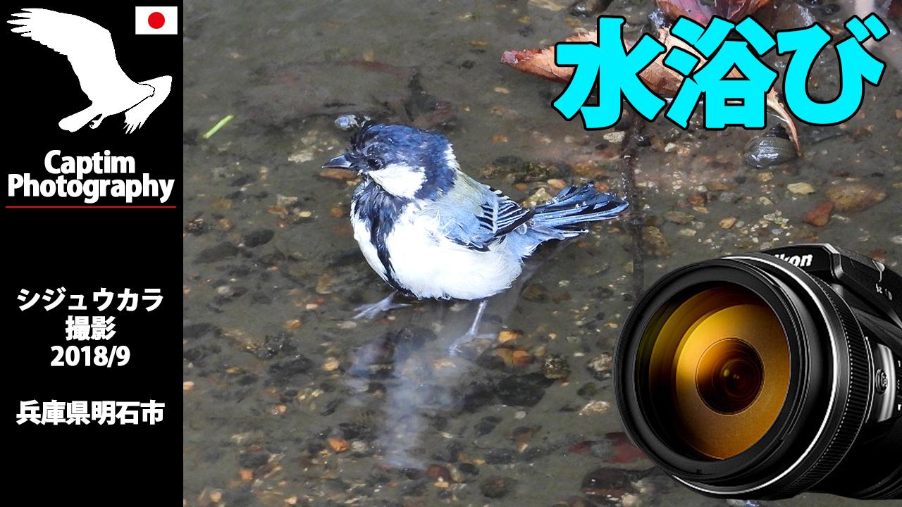 シジュウカラ 水浴び 飛来 兵庫県 明石市 2018/09 野鳥 撮影