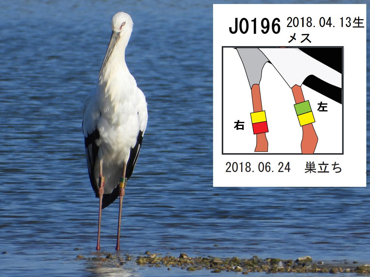 20191123_コウノトリ_足環リスト_J0196_神戸市_ブログ用